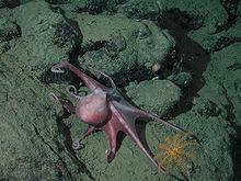 Pieuvre, animal totem 2 dans PIEUVRE 220px-Benthoctopus_sp
