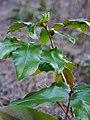 Berberis aquifolium flower buds in spring.jpg