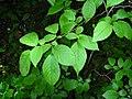 Betula alleghaniensis 2-jgreenlee (5097472947).jpg