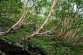 Betula ermanii 01.jpg
