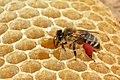 Biene mit rotem Pollen 41a.jpg