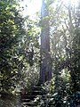 Big Yellowood (Podocarpus Falcatus) - 46m high, 2.3m diameter and 600y old - panoramio.jpg