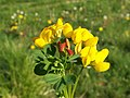 Bird's-foot Trefoil (Leguminosae or Fabaceae) - geograph.org.uk - 417466.jpg