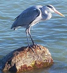 https://upload.wikimedia.org/wikipedia/commons/thumb/8/83/Bird01.jpg/219px-Bird01.jpg