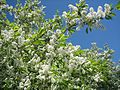 Bird cherry branches (Prunus padus in Finnish tuomi).jpg