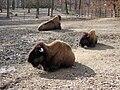 Bison bison.jpeg