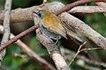 Black-billed Nightingale-Thrush (Catharus gracilirostris) (5771778401).jpg