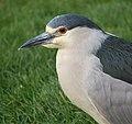 Black-crowned night heron (61502).jpg