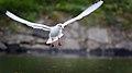 Black-headed gull (45020126734).jpg