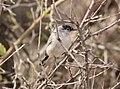 Black-tailed Gnatcatcher, Chino Canyon, AZ, 21 Feb 2015 (16643248982).jpg