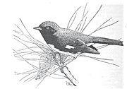 Black-throated Blue Warbler by Tappan Adney
