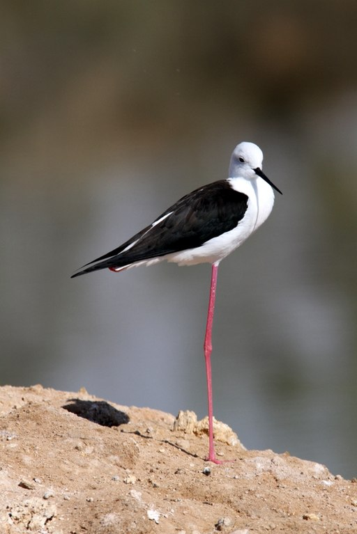 Black-winged Stilt Edge 2