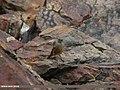 Black Redstart (Phoenicurus ochruros) (15893929061).jpg