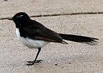 Black and White Bird 3 (31246763105).jpg