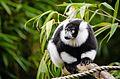 Black and white Ruffed Lemur (22009474214).jpg