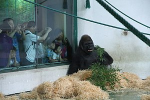 Shanghai Zoo - Image: Black ape from shanghai zoo with tourists
