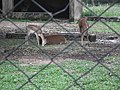 Black buck at Bannerghatta National Park 8659.JPG
