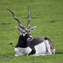 Blackbuck 2.jpg