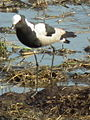 Blacksmith lapwing in Tanzania 3345 cropped Nevit.jpg