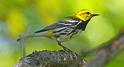 BlackthroatedGreenWarbler08.jpg