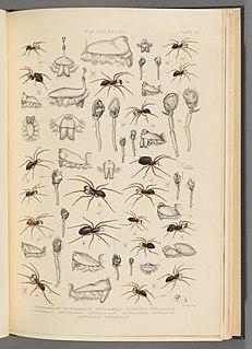<i>Cnephalocotes</i> Genus of spiders