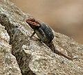 Blanford's Rock Agama Psammophilus blanfordanus in Hyderabad, AP W IMG 8018.jpg