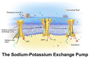 Blausen 0818 Sodium-PotassiumPump.png