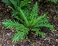 Blechnum gibbum in Wellington Botanical Garden 01.jpg