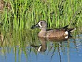 Blue-Winged Teal Drake Seedskadee NWR (18122384674).jpg