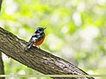 Blue-capped Rock-thrush (Monticola cinclorhyncha) (47903328841).jpg