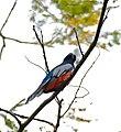 Blue-crowned Trogon (Trogon curucui) male (31782515086).jpg