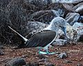 Blue-footed Booby (4884594541).jpg