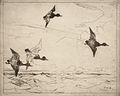 Blue Bills etching 1912 Frank Weston Benson.jpg