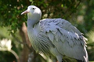 Blue crane species of bird