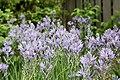 Blue Danube (Camassia leichtlinii) (3508753331).jpg