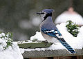 Blue Jay Series, Profile (3128144680).jpg