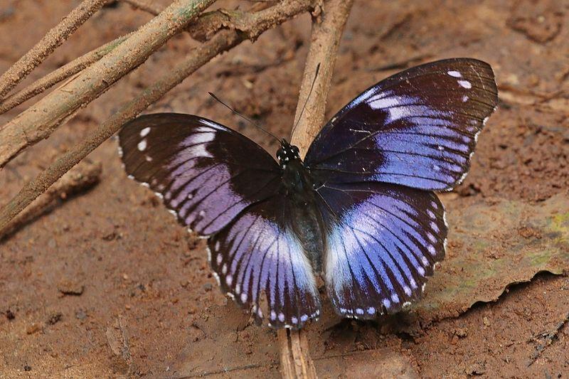 Bộ sưu tập cánh vẩy 6 - Page 14 800px-Blue_diadem_%28Hypolimnas_salmacis_salmacis%29_male_2