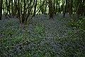 Bluebell carpet south of the Hatch Plantation - geograph.org.uk - 170574.jpg