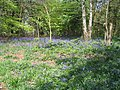 Bluebells, Crackley Wood - geograph.org.uk - 1474107.jpg