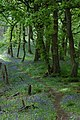 Bluebells in Fownhope Park Wood - geograph.org.uk - 1309318.jpg