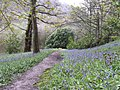 Bluebells on Park Banks - geograph.org.uk - 779076.jpg