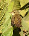 Blyth's Reed Warbler Acrocephalus dumetorum by Dr. Raju Kasambe DSCN6293 (2).jpg