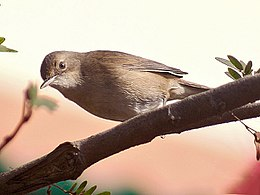 Blyth's Reed Warbler Im- Kolkata IMG 9405.jpg