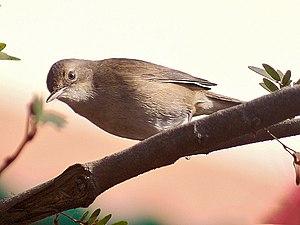 Blyth's reed warbler -  At New Alipore in  Kolkata, West Bengal, India.