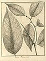 Bocoa prouacensis Aublet 1775 pl 391.jpg