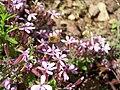 Bombylius sur Saponaria ocymoides (1).jpg
