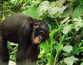 Bonobo (Pan paniscus) at Lola Ya Bonobo - 2.JPG