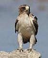 Booted eagle, Hieraaetus pennatus, at Kgalagadi 001 (32334023978).jpg