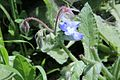 Borago officinalis pm1.jpg