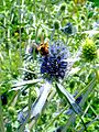 Bourdon bumblebee (608302671).jpg